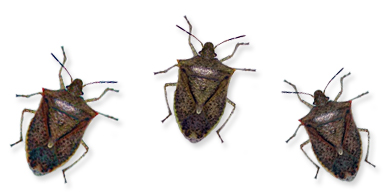 Stink Bugs Solutions For Fireplaces At Watson S Fireplace